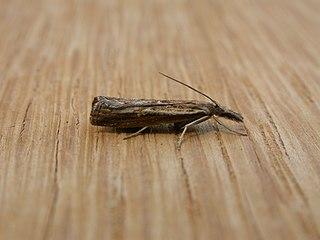 <i>Ptochostola</i> Genus of moths