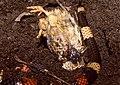 Pueblan Milksnake (Lampropeltis triangulum campbelli) female eating a quail chick ... (36013576342).jpg