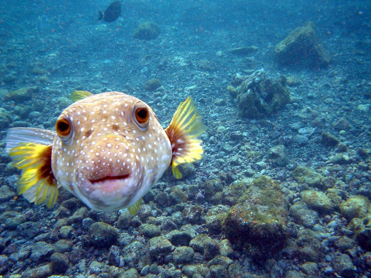 15 unusual things people around the world eat for Pictures of puffer fish