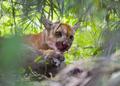 Puma no Pantanal comendo uma capivara.png