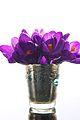 Purple Crocus (4592161312).jpg
