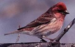 Purple Finch.jpg