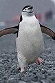 Pygoscelis antarcticus running.jpg