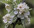 Pyrus elaeagrifolia - Yaban armudu 02.jpg