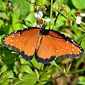 Queen Butterfly (Danaus gilippus) (8137722605).jpg