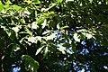 Quercus cerris JPG1f.jpg
