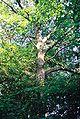 Quercus frainetto01.JPG