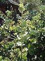Quercus ilex.003 - Monfrague.jpg