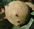 Quercus robur (Andricus kollari).004 - A Pobra do Caramiñal.JPG