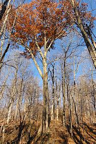 Quercus rubra SCA-05394.jpg