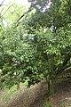 Quercus sessilifolia kz04.jpg