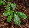 Quercus sideroxyla in Hackfalls Arboretum (3).jpg