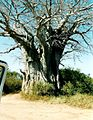 RSA Baobab.jpg