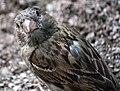 RU - Saint Petersburg - Chordata - Animalia - Aves - Passeridae - Passeriformes (4890882227).jpg