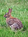 Rabbit animal sylvilagus floridanus.jpg