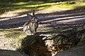 Rabbit in the forestry zoo Korpikeidas.jpg