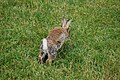 Rabbit on grass (3).jpg