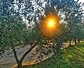 Raccolta delle olive in Toscana in Rignano sull'Arno (Italy).jpg