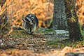 Raccoon (40152937723).jpg