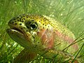 Rainbow trout (26809663537).jpg