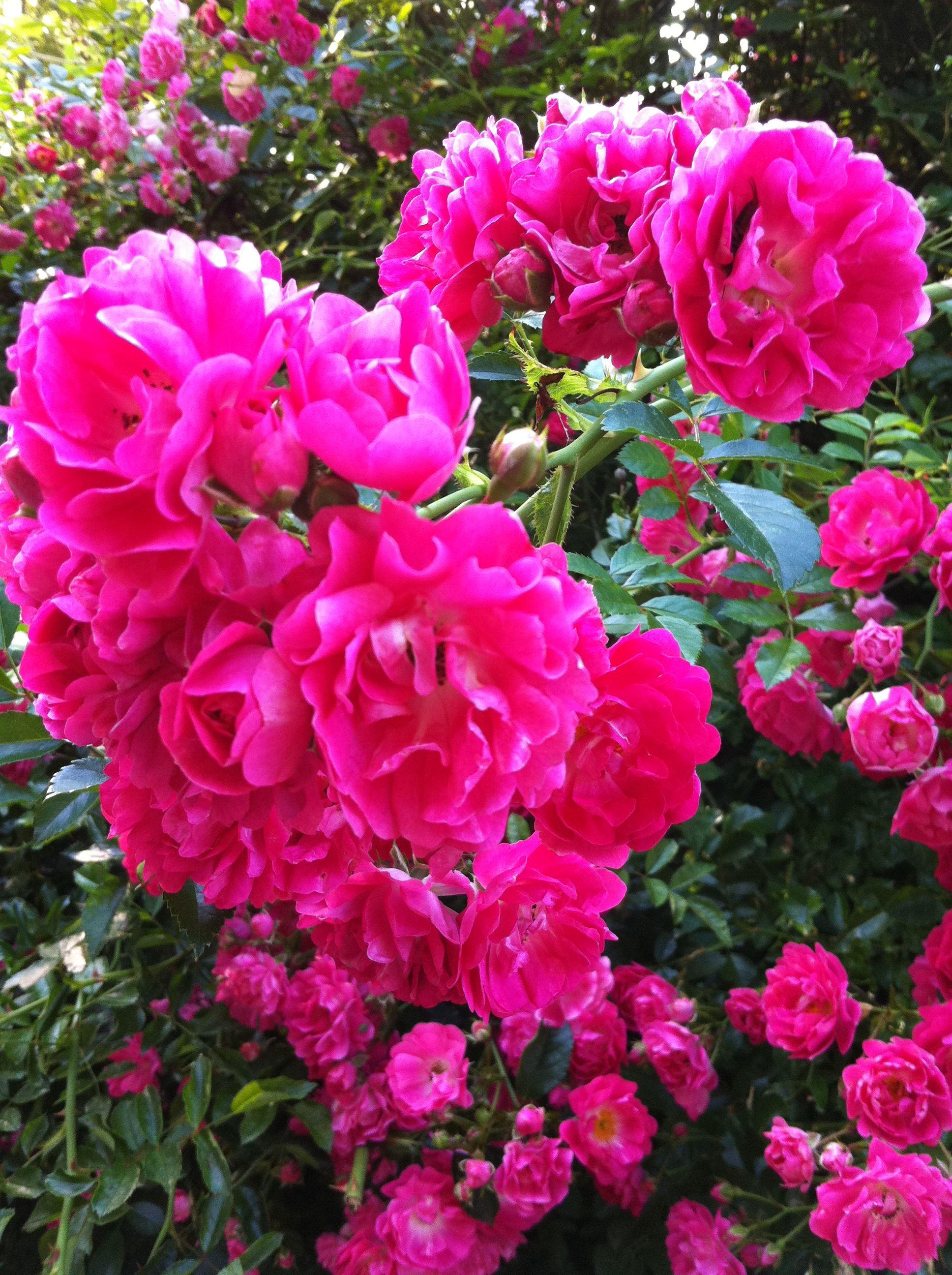 Cape Cod Rose Part - 29: File:Rambler Roses Cape Cod.jpg