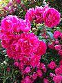 Rambler Roses Cape Cod.jpg