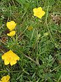 Ranunculus bulbosus Knolboterbloem plant.jpg