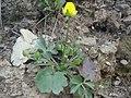 Ranunculus paludosus 1.JPG