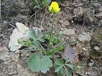 Ranunculus paludosus 1