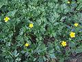 Ranunculus repens Oulu, Finland 07.06.2013.jpg