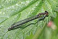 Red-eyed damselfly (Erythromma najas) female 2.jpg
