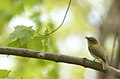 Red-eyed vireo (33916662623).jpg
