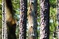 Red-headed woodpecker (47954594818).jpg