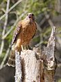 Red-shouldered hawk near Brevard, NC.jpg