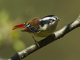 Red-tailed Minla - Bhutan S4E9596.jpg