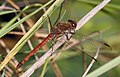 Red Orange Dragonfly 7 (3878550394).jpg