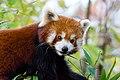 Red Panda (24677364708).jpg