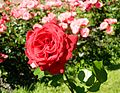 Red Rose flowers 22.jpg
