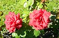 Red Rose flowers 23.jpg