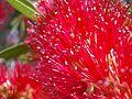 Red bottlebrush.JPG