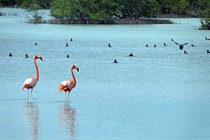 Zapata Swamp - Image: Red flamingos