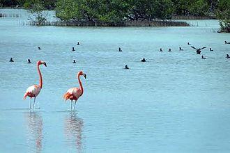 Zapata Swamp - Image: Red flamingos