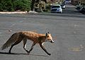 Red fox crossing road.jpg