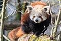Red panda in Linz.jpg