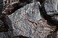 Red rock crabs, Galápagos Islands.jpg