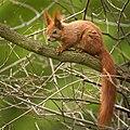 Red squirrel (49841333007).jpg