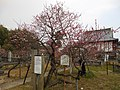 Reitokuju-bai plum tree at Kōden-ji 2016.JPG