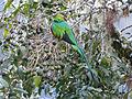 Resplendent Quetzal, Mirador de Quetzales, Costa Rica (3977259114).jpg