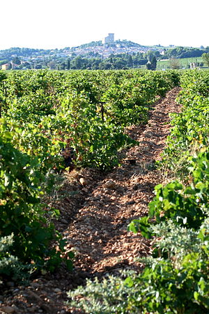 Vineyard in the French wine region of the sout...