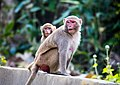 Rhesus Macaque monkey with kid.jpg